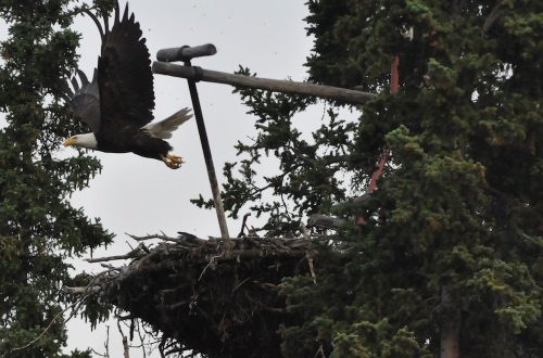 Update from Whitehorse: Bald eagles